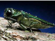 Community Tree Advocates Work Towards Funding to Combat Emerald Ash Borer